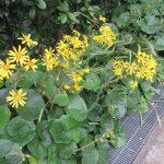 小さな冬探し。ああ、この花も冬告げ花。石蕗(つわぶき)もいよいよ咲き始めました。/旧暦9/25・丁巳