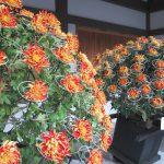 今年の「菊まつり」はご近所の湯島天神へ。大河ドラマモチーフの菊人形はないけど、それでも堪能!!/旧暦10/6・丁卯