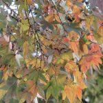 七十二候は「楓蔦黄」に。さっそく観察に繰り出せば、暦通りに楓も蔦も色づき始めてました(*'▽')/旧暦9/21・癸丑