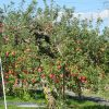 七十二候は「霎時施」に。暦がこう言い出すと、東北の母の家辺りは、林檎の収穫シーズンスタート!…のはず(*'▽')/旧暦9/16・戊申