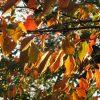 今年も「街の紅葉狩り」を!まずは、これは外せない桜の紅葉🍂。赤い葉っぱが冬のヒカリに輝いてました(*'▽')。/旧暦9/26・戊午