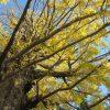 いよいよ銀杏の黄葉も始まりましたっ!勝手に「仙人銀杏」と呼ぶ、ご近所の銀杏巨木はもうすっかり黄色(*'▽')/旧暦10/17・戊寅