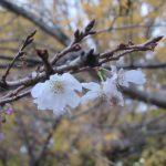 銀杏の黄色、冬桜の薄桃色。植物たちの冬の美しいコラボレーションを眺めに行く!/旧暦10/20・辛巳