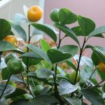 七十二候は「橘始黄」に。橘(たちばな)だけでなく、柑橘類の多くが熟す頃。暦どおりに黄ばんでます(*'▽')。/旧暦10/18・己卯