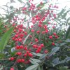 「南天」「千両」に加え、いよいよ「万両」にも遭遇。正月を彩る赤い実たちが存在感をまして、ああ、今年もあと半月かぁ。/旧暦10/30・辛卯