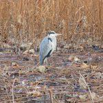 七十二候は「雉始鳴」に。暦は雉(きじ)の求愛行動の頃というけど、街には雉はいないしなぁ。鳥つながりで不忍池の野鳥観察に行く(*'▽')/旧暦12/7・丁卯