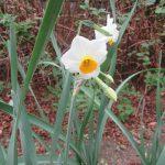 七十二候は「水泉動」に。今年は寒さ厳しく「動」というより「固」が似合う中、やっと「金盞香」=水仙咲きました(*'▽')/旧暦11/29・庚申