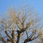 見上げれば、青空背景に銀色の樹々。こんな光景の日に「東風」どころか「南風」。早々に「春一番」吹きました!/旧暦12/24・甲申