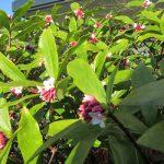 香って来たのは「沈丁花」、可憐に咲く「乙女椿」。そして、これが初遭遇の「藪(やぶ)椿」。ああ、春だぁ(*'▽')/旧暦1/8・己亥・上弦
