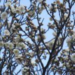 いまごろの「水仙」。見上げれば「蠟梅(ろうばい)」。そして、やっと愛でました「白梅」。出かけない今年は、季節を告げる花に遭うのも一苦労だわぁ。/旧暦12/25・乙酉