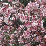 「水仙」、「蠟梅」、「白梅」とくれば、もうこの花もとっくに開花。「寒桜」も咲きました!in 上野公園/旧暦12/26・丙戌
