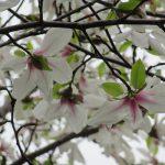 見上げたら満開!これは「染井吉野」ではなくて…、あっ「辛夷の花」がいまごろ満開?!ジーッと眺めて、後ろ姿が可愛いのを発見(*'▽')/旧暦2/15・甲戌