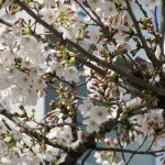 七十二候は「櫻始開」に。今日が七十二候の開花宣言。しかし、今年も暦を待たずに染井吉野咲く。さて本日はどのぐらい咲いた🌸?/旧暦2/13・壬申