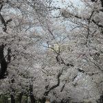 いよいよ、染井吉野が満開だっ!ならば桜を追って徒歩花見。ご近所の一本桜と馴染みのスポットの桜を追って上野まで🌸/旧暦2/17・丙子