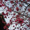 上野公園の桜観察。桜リレーは、「寒桜」から「寒緋桜」へバトンが渡る。ここまでくるとクライマックスの「染井吉野」までもあっという間かぁ。早いねぇ/旧暦1/21・辛亥