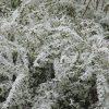 「雪柳」は自ら花咲かせ「染井吉野」の開花を予想しているような。今年も早いの?早いみたいです。開花予想は来週前半、おおっ…(◎_◎;)。/旧暦2/1・庚申・新月