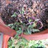今日は、雑節「社日」。土の神さまを祀る日とか産神様に感謝する日とか。個人的には、土つながりで種を撒く。今日は秋・社日に蒔いたトマトのことを。/旧暦2/9・戊辰