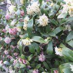 いよいよ満開な沈丁花。マスク姿で、かなり離れたところを歩いても、強く漂う春の香りだぁ(*'▽')。/旧暦1/19・己酉
