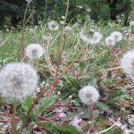 黄色いたんぽぽが群生してた空き地。それが、もう違う花が咲いたみたいに綿毛群生地になってるし(◎_◎;)。ああこうして、今年も春が行く。/旧暦3/12・辛丑