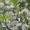 七十二候は「霜止出苗」に。暦がこう言い出すと、ご近所では「花水木」咲き出す頃。あっ、もうすっかり咲き切ってる、今年も早っ!/旧暦3/14・癸卯