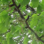 銀杏の芽生えは、少しずつ時期が早まってる? 今年は、もはや、若芽、若葉の頃を過ぎ、立派に木陰つくりそうな茂りようです。あっ!銀杏の花発見っ!/旧暦3/11・庚子