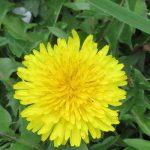 もっと早春の花と思われがちな蒲公英(たんぽぽ)は、ホントは今からが花の頃。そしてぺんぺん草こと薺(なずな)も群生して開花始まる(*'▽')/旧暦2/30・己丑