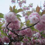 桜リレーは、八重が満開で、もう終盤。がっ!珍しい黄色の桜・鬱金桜(うこんざくら)は花の頃は過ぎてます。ああ見過ごしたぁ(-_-;)。/旧暦3/2・辛卯