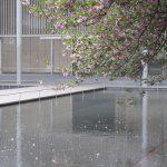 七十二候は「虹始見」に。虹を見るには難しい街暮らし。代わりに、今年は八重桜の散り際に遭遇しました(*'▽')/旧暦3/8・丁酉