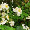 東北の母の庭に野茨が!!しかも大きく育って満開。摘んで飾り放題だなぁ(*'▽')。羨ましいので明日は一回休みっ!!/旧暦4/8・丁卯