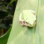 七十二候は「蛙始鳴」に。「立夏」に続き、暦が夏の気配告げるアイテムは蛙🐸の鳴き声。街暮らしの巣籠中では聴こえないけどね(:_;)。/旧暦3/25・甲寅