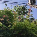 見上げれば、あれは楓の実かな?いやいや若葉だ。楓の若葉は、ほんのり紅いんだぁ。知らなかった(*'▽')。/旧暦4/1・庚申