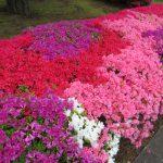 街路の躑躅(つつじ)眺めて、今年も眺められなかった皇居の庭の躑躅の植栽などを思い出す。あっ!今日は憲法記念日だって忘れてた💦/旧暦3/22・辛亥