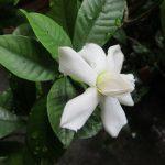 今朝、我が家の梔子の花が一輪咲く!!どうぞ、ご覧ください(*'▽')。ってことで明日からしばし休みますっ!/旧暦5/4・壬辰