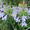 七十二候は「乃東枯」に。暦が、いまだ見ぬ「乃東=夏枯草(かこそう)」が咲くという頃は、町には夏の花が咲く。たとえば、「紫君子蘭」とか(*'▽')。/旧暦5/13・辛丑