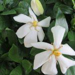 いよいよ梔子(くちなし)の花咲き始め、香りはじめの頃です。屋外では、もう一重の可愛い花が咲き始めました。マスク越しでもいい香り(*'▽')/旧暦4/28・丁亥