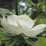 「泰山木」が咲き始め、「山法師」ももう咲いてたみたい。こないだまで「朴の花」と「花水木」の季節だったのに早いねぇ(*'▽')/旧暦4/22・辛巳・下弦