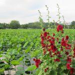 今日は、雑節の「入梅」です。暦は今日から「梅雨入宣言」。梅雨告げ花の「立葵」も咲いた。しかし今年の東京上空の梅雨入りは、まだ先みたい。/旧暦5/2・庚寅