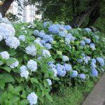 久しぶりの不忍池散策。ちょうど、紫陽花の頃が始まって、通路は赤紫や青で彩られてました。ああ、美しい(*'▽')/旧暦4/24・癸未