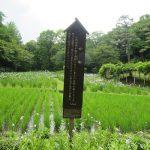 二十四節気は「芒種」に。古い暦は穀物=米の「種籾」頃と言いますが、そろそろ、稲が青々と育つ田んぼが見られる頃です(*'▽')/旧暦4/25・甲申