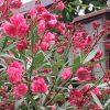 青空、猛暑、蝉の声。そして、東京の街にも夾竹桃咲き乱れ。ああ、今日は広島平和記念日。/旧暦6/28・丙戌