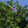 見上げれば「柘榴」。すっかり、実が大きく膨らみつつありって、柘榴の実がこんな感じの頃は、まさに盛夏。ああ、夏だわぁ。/旧暦6/21・己卯