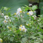 今年はやや遅れて始めた「夏の七草」探し。7つ目は、この花。こんなに群生してるのに初めて遭遇しました!/旧暦6/16・甲戌