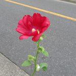 梅雨のあいだご近所を彩ってった「立葵」の花が、とうとう てっぺんまで開花。東京もいよいよ梅雨明けかな?/旧暦6/7・乙丑