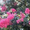 あっという間に8月朔日。ご近所をぐるり巡り、夏の花を探してみました。芙蓉、木槿、百日紅。今年はもしや開花が遅い?/旧暦6/23・辛巳