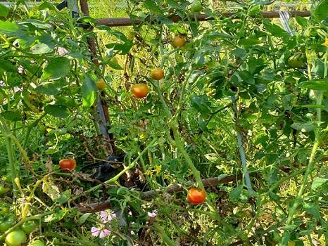 トマトの棚