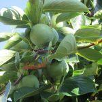 今日は、「長崎原爆忌」。この日が近づけば、眺めに行きたくなる柿の樹の場所へ。今年もたわわな実りを祈るように見上げる。/旧暦7/2・己丑