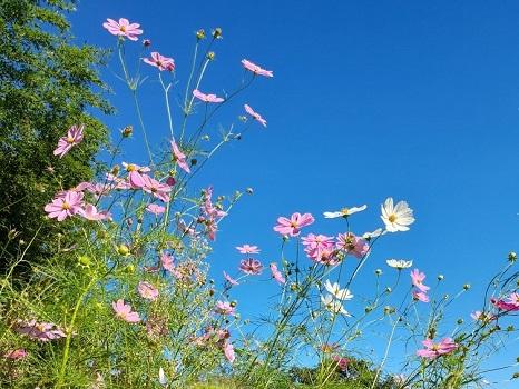 七十二候は「雷乃収声」に。やたら雷がやって来た夏もすぎ、もうすっかり秋。青空に秋桜(コスモス)なんかが似合う日々。/旧暦8/19・丙子