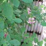 「秋の七草」探し。3つ目は「萩の花」。今年は萩の花咲くのが遅かったぁ。やーっと花咲くところに遭遇しました(*'▽')。/旧暦8/8・乙丑・上弦