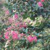 今年も、ひっそりと観察してました(*'▽')。「百日紅」は、ホントに百日咲くか?うーむ、60日過ぎてこんな風。/旧暦8/4・辛酉