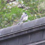 七十二候は「鶺鴒鳴」に。かつて渡り鳥だった鶺鴒も、今は留鳥。外をうろつけば結構出会いはたやすいですが…さて。あっ!いましたっ(*'▽')。/旧暦8/9・丙寅